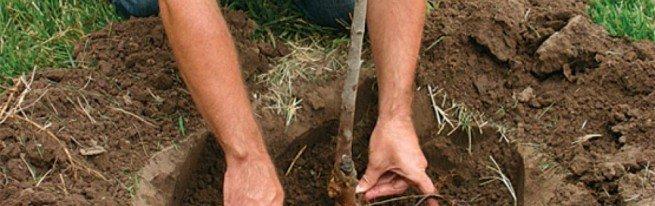 Посадка груши – основные правила и рекомендации