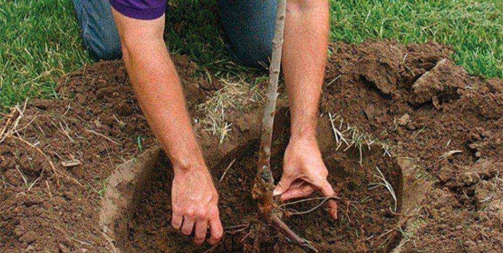 Как посадить грушу летом