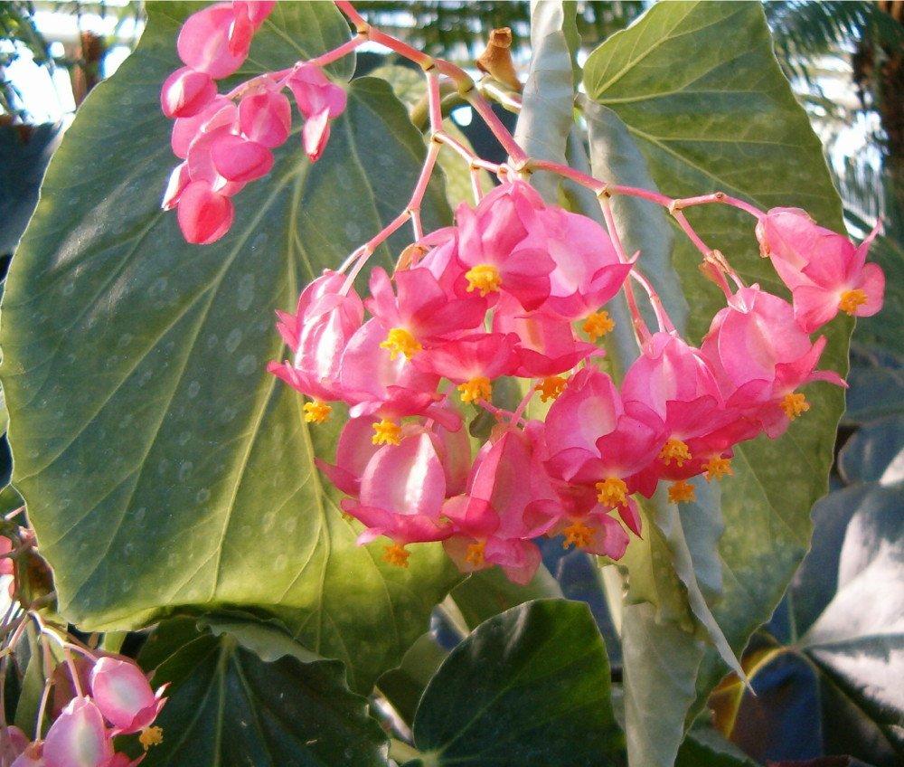Бегония коралловая когда цветет