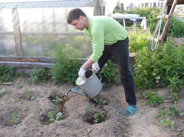 Особенности подкормок цветной капусты