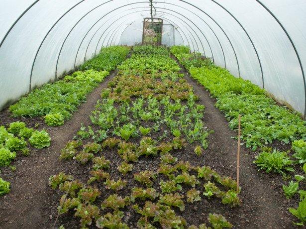 Посев в открытый грунт или в теплицу