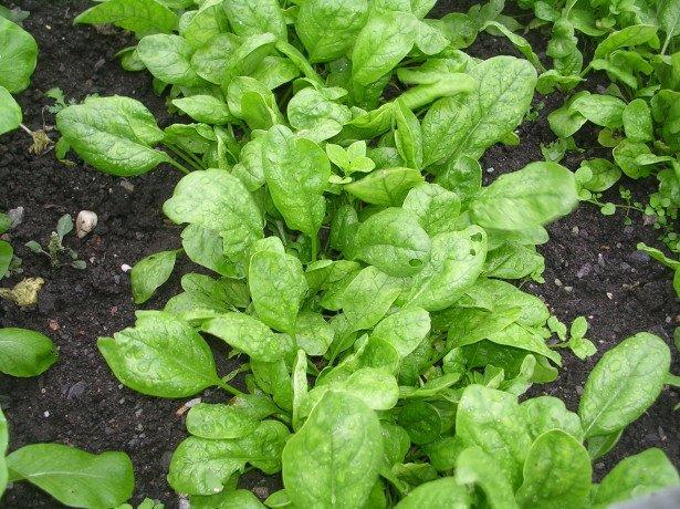 Почему так полезен шпинат