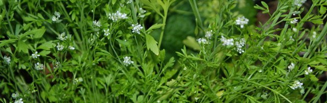 Цветущий кресс салат - использование в пищю и при лечении заболеваний