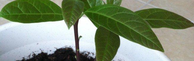 Как посадить авокадо в домашних условиях