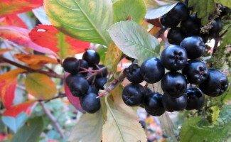 Черноплодная рябина – выращивание и уход