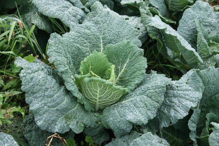 Savoy_Cabbage