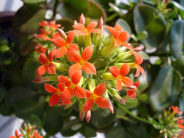 Условия цветения каланхоэ