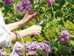 Обрезка сирени весной – формирование куста и его омоложение