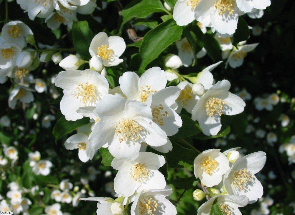 jasmine_flowers_1280x960