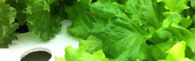 Выращивание салата на гидропонике - как способ построения бизнеса