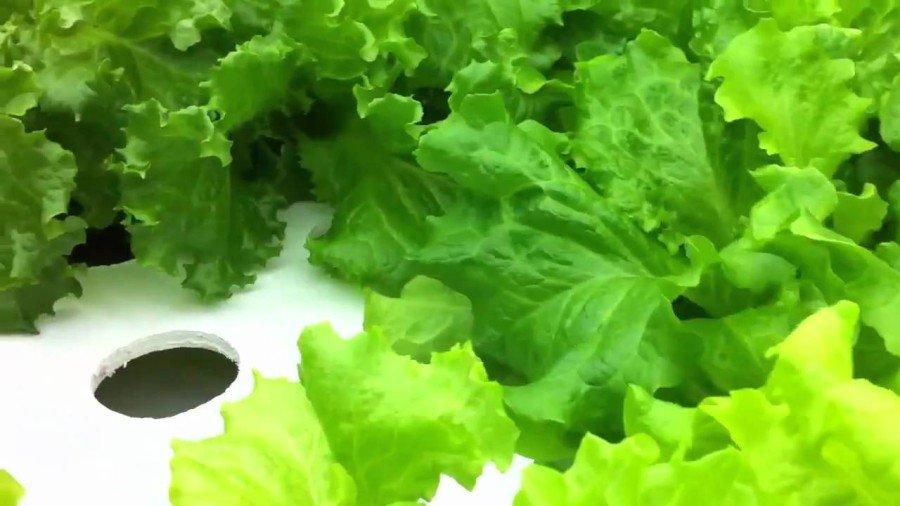 Технология выращивание салата гидропоника тесты тоталис спайс