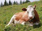 Сколько живёт корова - что влияет на продолжительность её жизни?
