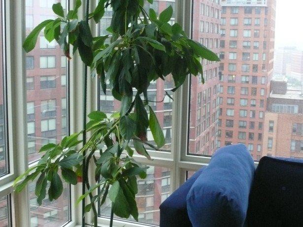 Выращивание авокадо в домашних условиях — шаг первый