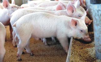 Корма свиноводство - первостепенная задача