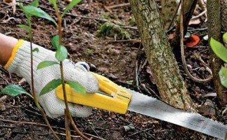 Обрезка черноплодной рябины осенью – правила проведения