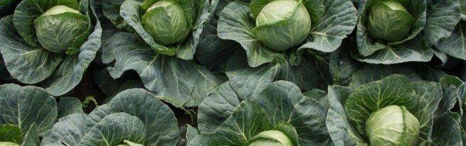 Выращивание капусты в открытом грунте – от выбора семян до сбора урожая