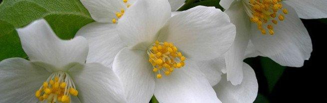 Растение жасмин – уход и особенности выращивания