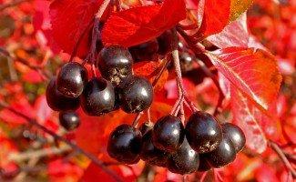 Черноплодная рябина - лечебные свойства давление и головная боль