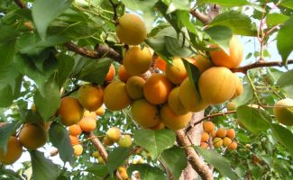 Абрикос Лель – сочная сладость макушки лета