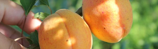 Абрикос Монастырский – крупные и сладкие плоды при минимальном уходе