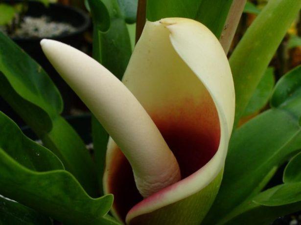 цветение филодендрона