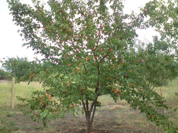 Дерево абрикоса сорта Лель
