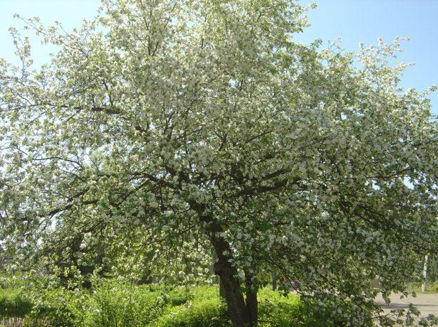 Дерево яблони сорта Кальвиль снежный