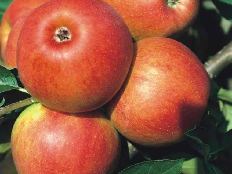 картинки сорта яблок джонатан провели