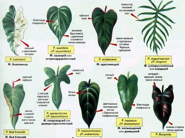 варианты формы листьев филодендрона