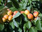 Сорт абрикоса Графиня