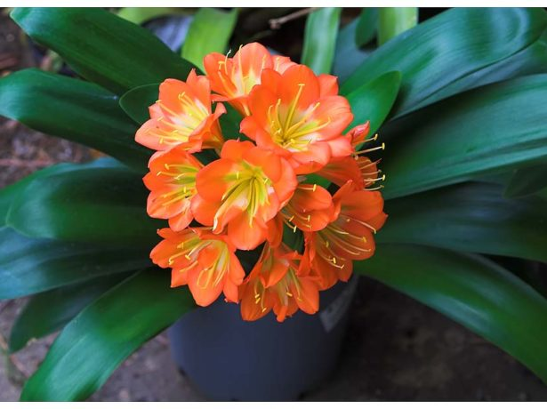 Соцветие кливии