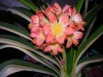 Кливия: неприхотливая красавица