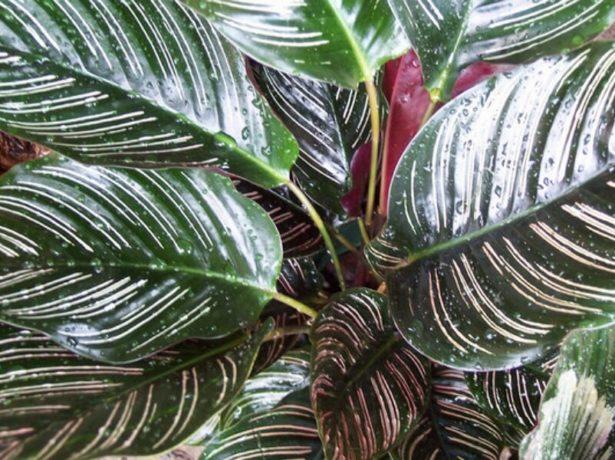Листья калатеи