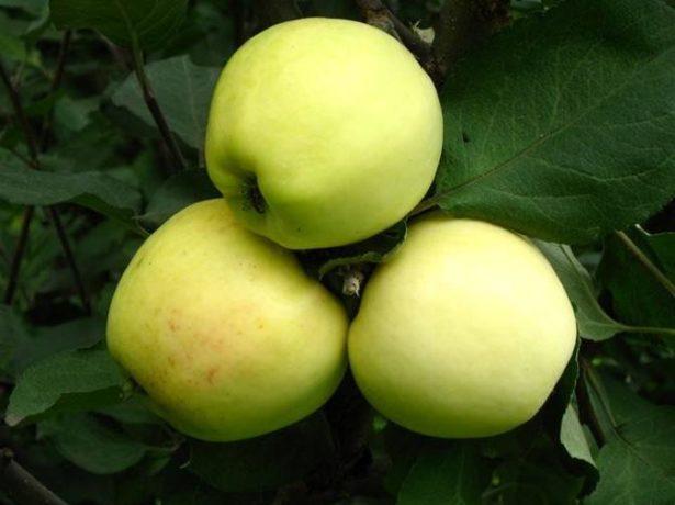 Плоды яблони сорта Кальвиль снежный
