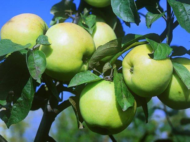 Плоды яблони сорта Славянка