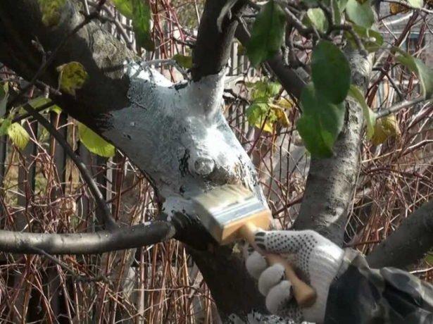 Побелка дерева