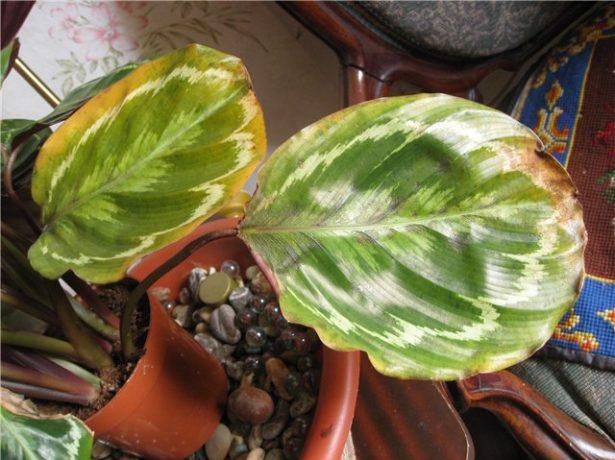 Повреждённые листья калатеи
