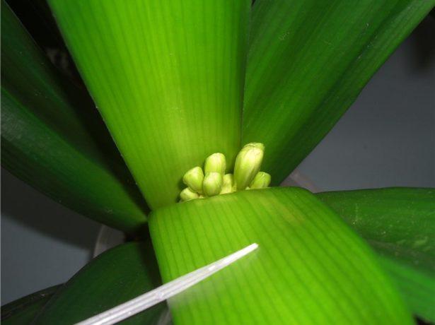 Появление цветоноса у кливии
