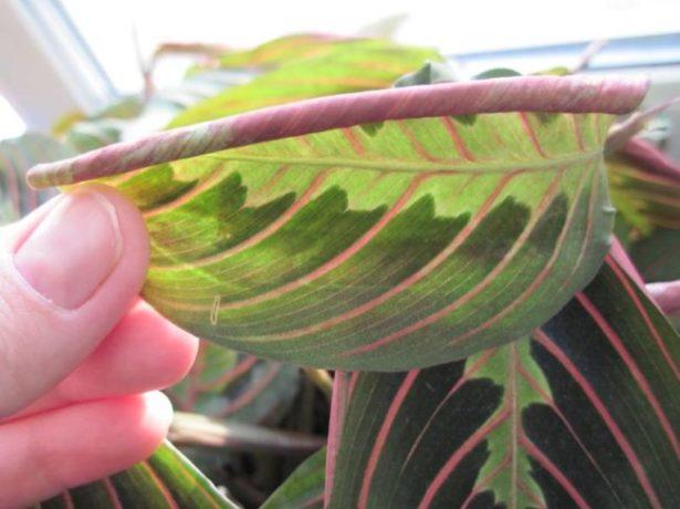 Скрученные листья калатеи