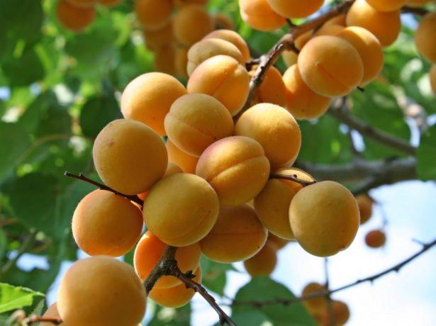 Плодыабрикоса сорта Лель