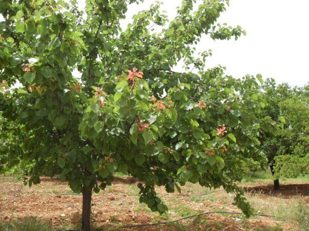 Сорт абрикоса Монастырский