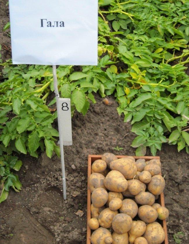 свежевыкопанный картофель гала фото ромашки прыщей рекомендовано