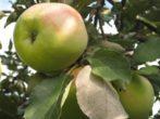 Яблоня Славянка – витамины на вашем столе до конца зимы