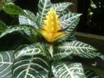 Афеландра —капризная тропиканка