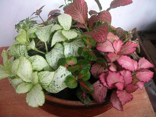 Фото комнатных цветов фиттония