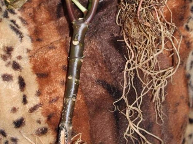 черенок с корнями