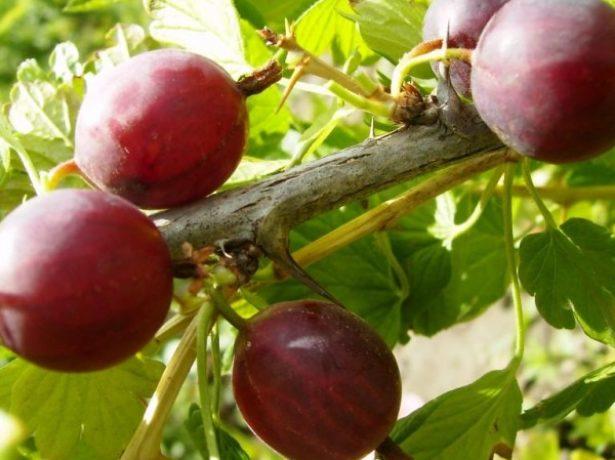 Плоды крыжовника сорта Неслуховский