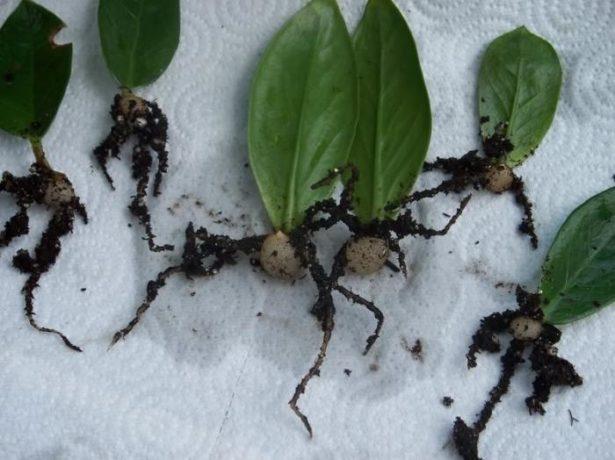 листовые черенки замиокулькаса