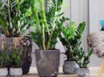 Замиокулькас:что нужно знать заботливому хозяину долларового дерева