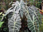Алоказия - правила ухода за тропической незнакомкой